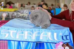Cats Undercover British Shorthair Show - 52