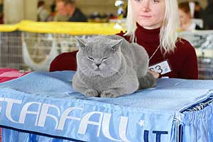 Cats Undercover British Shorthair Show - 51