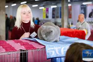 Cats Undercover British Shorthair Show - 49