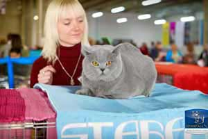 Cats Undercover British Shorthair Show - 48