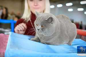 Cats Undercover British Shorthair Show - 47