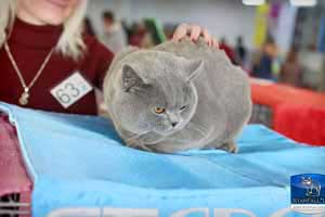 Cats Undercover British Shorthair Show - 46