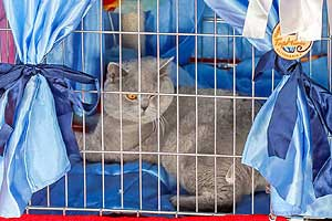 Cats Undercover British Shorthair Show - 40