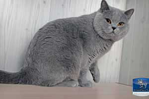 Cats Undercover British Shorthair Session - 34