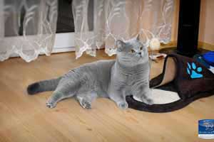 Cats Undercover British Shorthair Applaws - 29