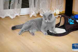 Cats Undercover British Shorthair Applaws - 28