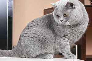 Cats Undercover British Shorthair Session - 25