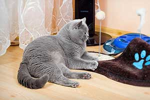 Cats Undercover British Shorthair Session - 24
