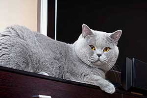 Cats Undercover British Shorthair Session - 23
