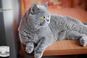 Cats Undercover British Shorthair Kitchen - 21