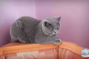 Cats Undercover British Shorthair Undy Kitchen - 19
