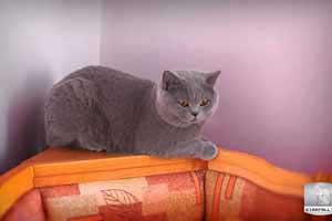 Cats Undercover British Shorthair Undy Kitchen - 18