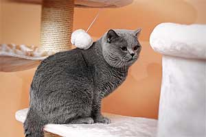 Cats Undercover British Shorthair - 15
