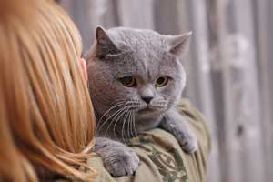 Cats Undercover British Shorthair - 12