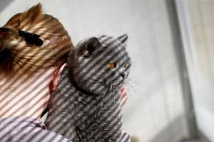 Cats Undercover British Shorthair - 8
