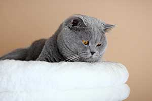 Cats Undercover British Shorthair Boy - 7