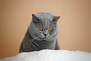 Cats Undercover British Shorthair Male - 6