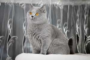 Cats Undercover British Shorthair Blue Stud - 4