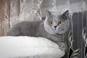 Cats Undercover British Shorthair Blue Stud - 3