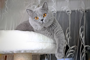 Cats Undercover British Shorthair Blue Stud - 2