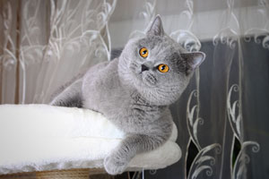 Cats Undercover British Shorthair Blue Stud - 1
