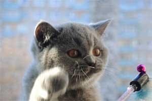 Cattery British Shorthair Kittens - 8