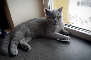 Cattery British Shorthair Kittens - 7