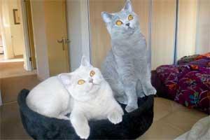 Британские Короткошерстные - Вязка Британского Кота