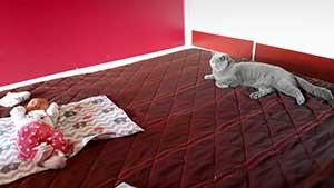 Cattery British Shorthair Kittens - 4
