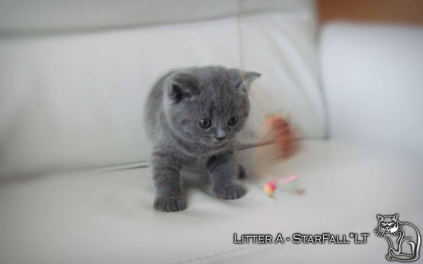 Kittens A British Shorthair 52 Gallery