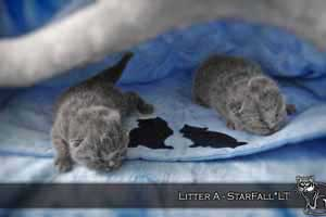 Kittens British Shorthair - 127