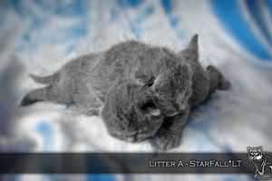 Kittens British Shorthair - 125
