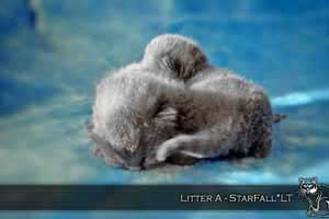 Kittens British Shorthair - 124