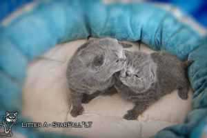 Kittens British Shorthair - 122