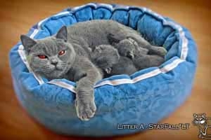 Kittens British Shorthair - 121