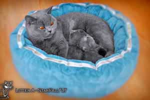 Kittens British Shorthair - 120