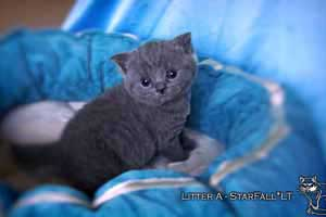 Kittens British Shorthair - 109