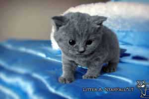 Kittens British Shorthair - 107