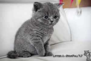 Kittens British Shorthair - 104