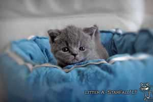 Kittens British Shorthair - 99