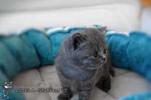 Kittens British Shorthair - 98
