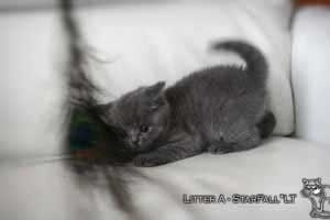 Kittens British Shorthair - 93