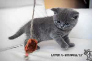 Kittens British Shorthair - 92