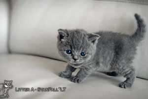 Kittens British Shorthair - 90