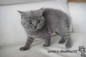 Kittens British Shorthair - 86