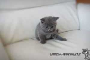 Kittens British Shorthair - 83
