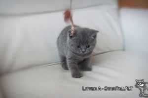 Kittens British Shorthair - 82