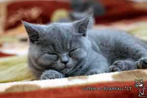 Kittens British Shorthair - 78