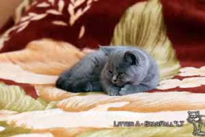 Kittens British Shorthair - 75