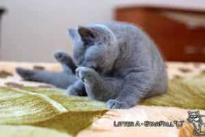 Kittens British Shorthair - 69